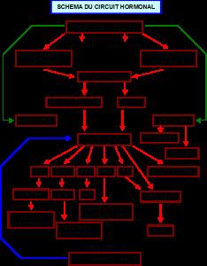 schema du circuit hormonal